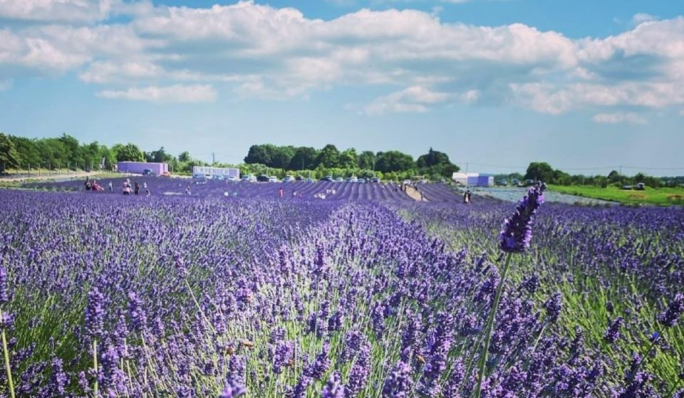 You Can Walk Through Magical Fields Of Lavender On Long Island This Summer