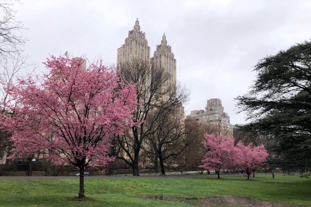 Spring Alert: Cherry Blossoms Have Officially Started Blooming In Central Park