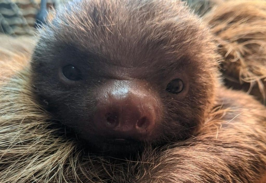 See The Unbelievably Adorable Baby Sloth Just Born At NYC's Staten Island Zoo