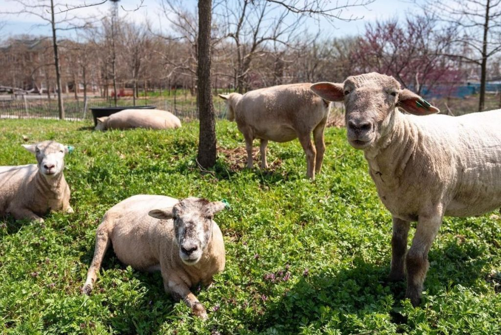 Adorable Sheep Are Coming To Governors Island This Summer