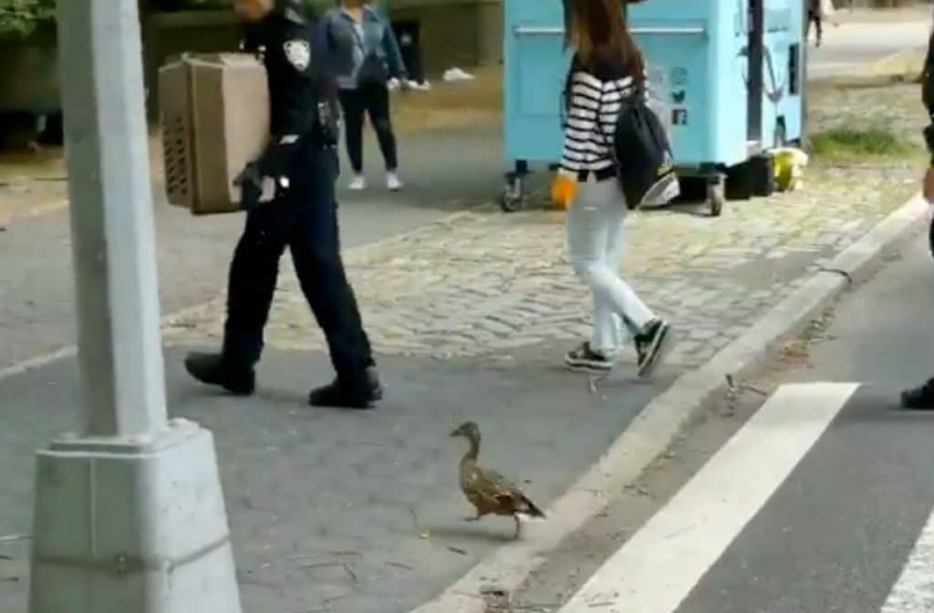 An Adorable Family Of Ducks Was Rescued On The UES This Weekend