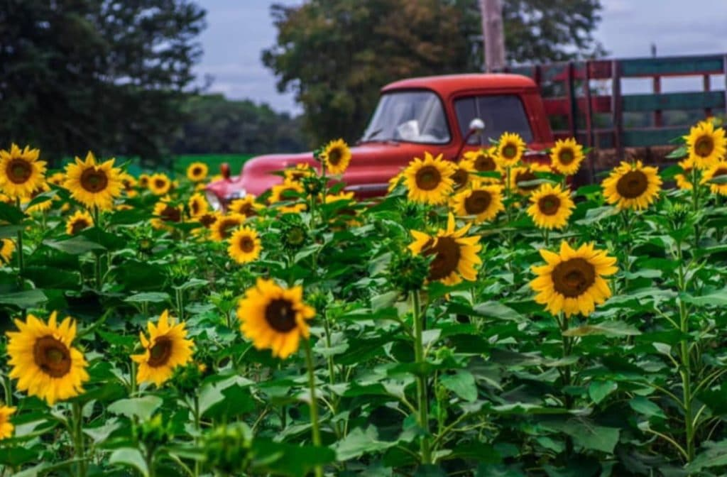 You Can Pick Your Own Summer Sunflowers At This Farm In New Jersey • Happy Day Farm