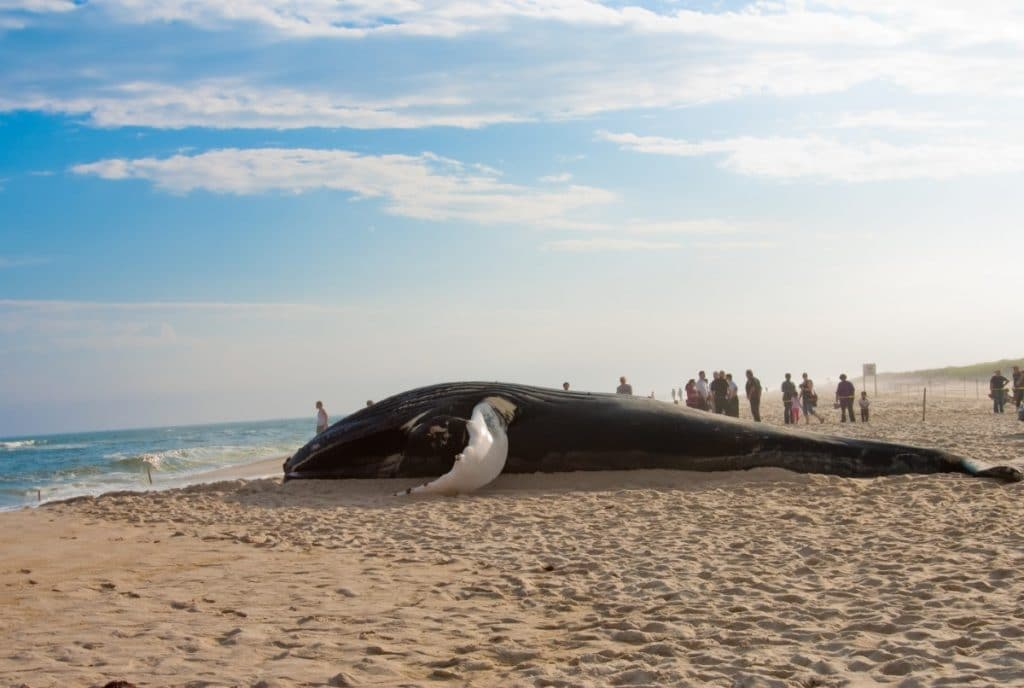 A Massive 38-Foot Humpback Whale Washed Up On Staten Island Shores