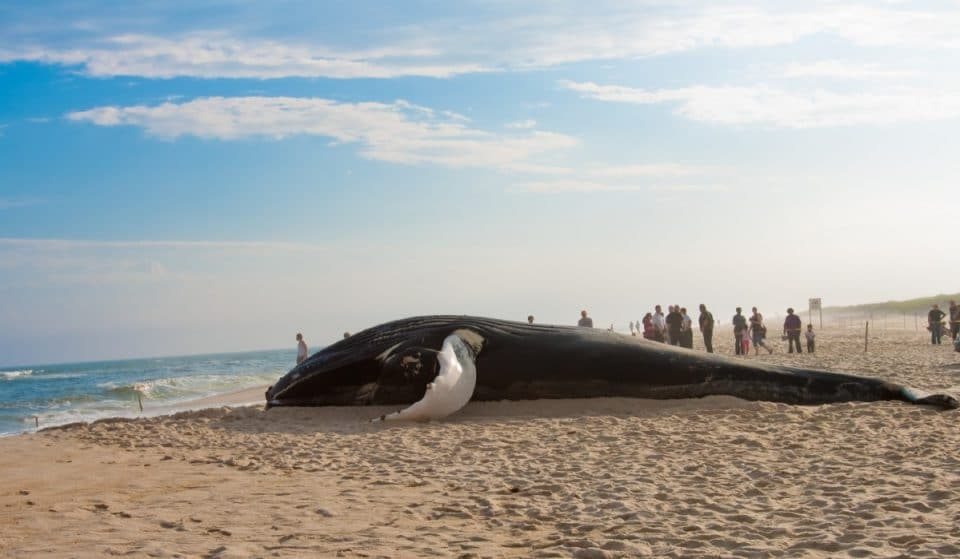 A Massive 38-Foot Humpback Whale Washed Up On Staten Island Shores Over The Weekend